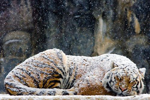 snowy-tiger.jpg