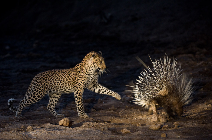 leopard_porcupine.jpg