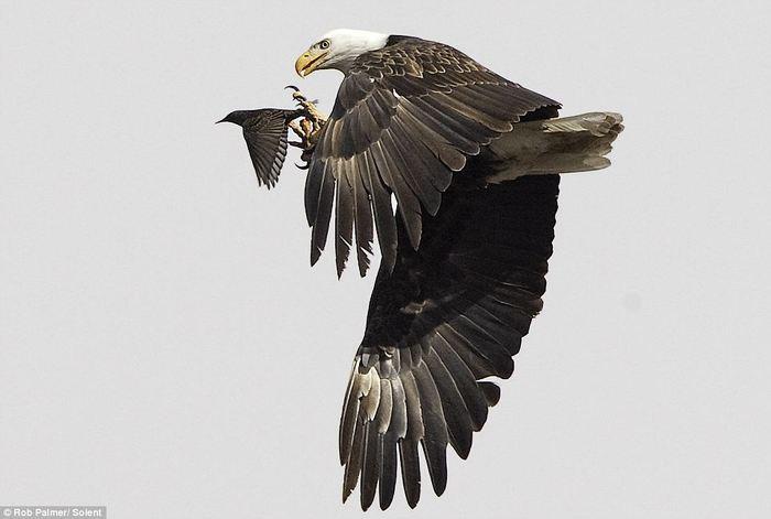 eagle_starling.jpg