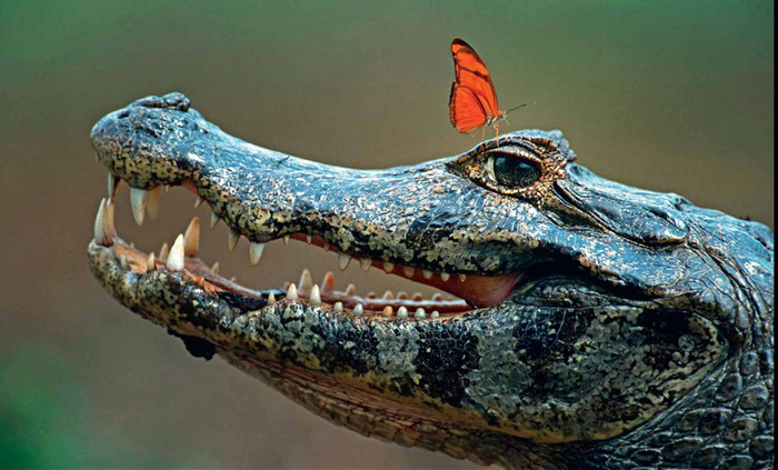 caiman_butterfly.jpg