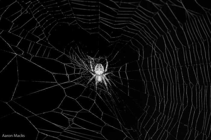 Spider and Web closeup BW.jpg