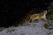 141203-winter-big-cats-02.jpg